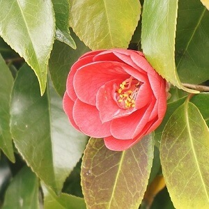 Appropriate hydration is key to keeping the flower buds of your potted camellias intact