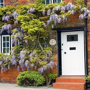 Wisteria in a garden planter, guided to run above a home's door and around its windows